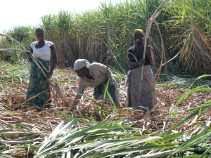 Kasinthula women preparing seedcane