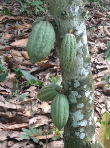 Young green cocoa pods