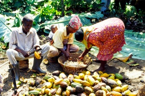 Members of the Kuapa Kokoo co-operative working together
